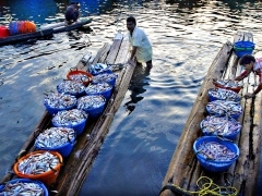Fishermen push their boats transporting baskets full of fishes, Chennai